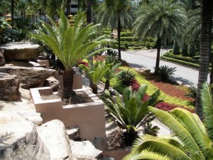 Cycads in landscape